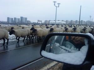 Schafe in Dresden